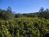 vigna-foto-scheda-vino-15-ottobre-2011-ore-12-30-052
